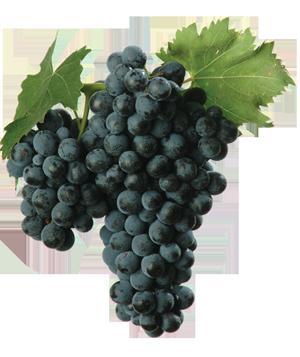 montepulciano grapes italy